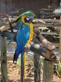 Голубой и желтый попугай стоковое изображение rf