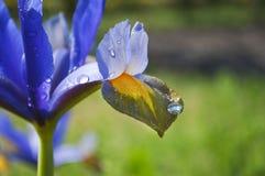 Голубой и желтый цветок лилии с капельками воды Стоковое Изображение