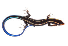 голубой кабель skink ящерицы Стоковая Фотография RF