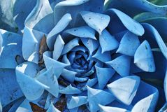 голубой кактус Стоковое Изображение