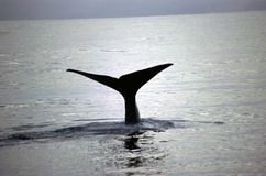 голубой кит Стоковое Фото