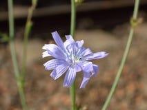 Голубой конец-вверх цветка запачкал стоковые изображения
