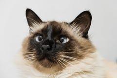голубой кот eyed стоковая фотография