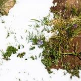 Голубой красивый расти цветков из-под снега, природа будя стоковые изображения rf