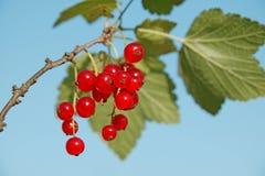 голубой красный цвет смородины Стоковые Изображения RF