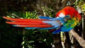 голубой красный цвет macaw холить стоковые изображения rf