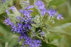 Голубой крупный план лепестка цветка кустарника Spirea тумана Стоковое Фото