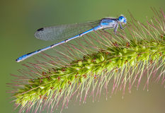 голубой лисохвост damselfly Стоковое фото RF