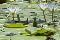 Голубой лотос 3 Египта, Nymphaea Caerulea Waterlilies Стоковое Фото
