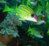 голубой луциан striped Стоковое Изображение RF