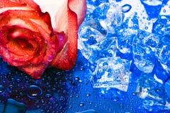 голубой льдед поднял Стоковые Изображения