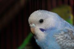 Голубой неразлучника красивый и белый неразлучник Стоковые Фотографии RF