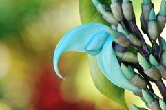 голубой нефрит Гавайских островов засаживает лозу Стоковые Фотографии RF