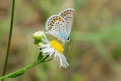 голубой обитый серебр бабочки Стоковая Фотография RF