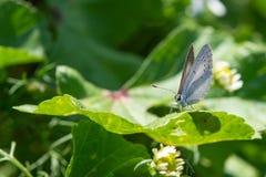 голубой обитый серебр бабочки Plebejus argus Стоковое Изображение RF