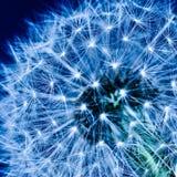 голубой одуванчик Стоковое Фото