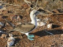 голубой олух footed Стоковое Фото