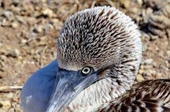 голубой олух footed Стоковая Фотография RF
