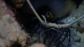 Голубой омар в защитительной позиции сток-видео
