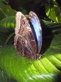 голубой отдыхать morpho листьев бабочки Стоковое фото RF