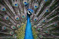Голубой павлин с красочными открытыми красивыми пер Стоковые Изображения RF