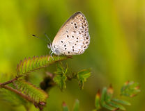голубой пигмей травы Стоковые Изображения
