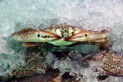 Голубой пловец crabs круглая резинка в льде иногда вызываемое manna' 'blue стоковая фотография
