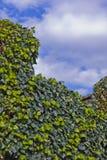 голубой плющ покидает небо Стоковое Изображение RF