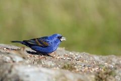 голубой подавая grosbeak Стоковые Изображения