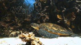 Голубой разветвляя коралловый риф и другие refs коралла видеоматериал