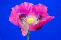 голубой розовый мак стоковое изображение