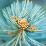 Голубой росток ели Стоковая Фотография RF