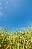 голубой сахар неба поля тросточки Стоковые Фотографии RF
