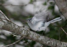 голубой серый цвет gnatcatcher Стоковые Фотографии RF
