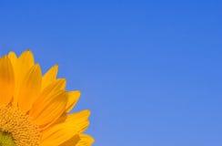 голубой солнцецвет Стоковое Изображение RF