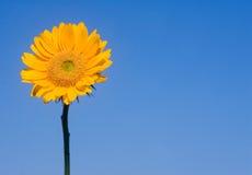 голубой солнцецвет Стоковые Фото