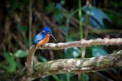 Голубой ушастый kingfisher на Kaoyai Таиланде Стоковое Изображение RF
