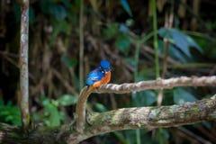 Голубой ушастый kingfisher на Kaoyai Таиланде Стоковое фото RF