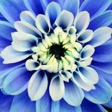 Голубой фиолетовый цветок радужки и желтый цветок Стоковое Изображение RF