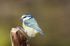 голубой цветастый tit Стоковое Изображение RF