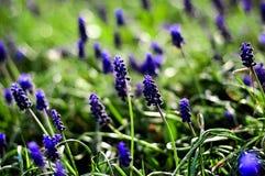 Голубой цветник травы малых цветков зеленой Стоковая Фотография RF