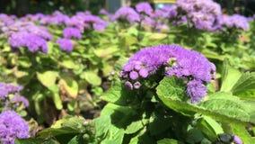 Голубой цветок в парке города сток-видео