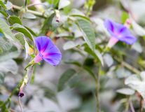 Голубой цветок в природе Стоковые Изображения RF