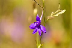 Голубой цветок в природе Стоковая Фотография