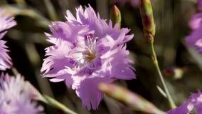 Голубой цветок гвоздики пошатывая в ветре акции видеоматериалы