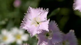 Голубой цветок гвоздики пошатывая в ветре сток-видео