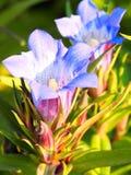 Голубой цветок горечавки Стоковые Фото