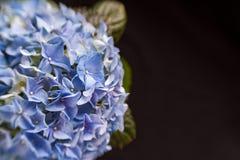Голубой цветок гортензии с зеленым цветом выходит на черную предпосылку Стоковые Фотографии RF