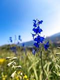 Голубой цветок колокола Стоковое Изображение RF