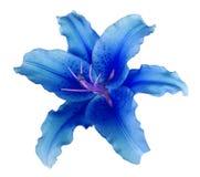Голубой цветок лилии на белизне изолировал предпосылку с путем клиппирования никакие тени Для дизайна, текстура, границы, рамка,  стоковая фотография rf